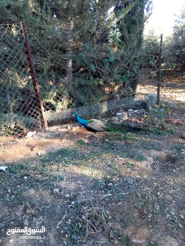 ذكر طاووس هندي شغال