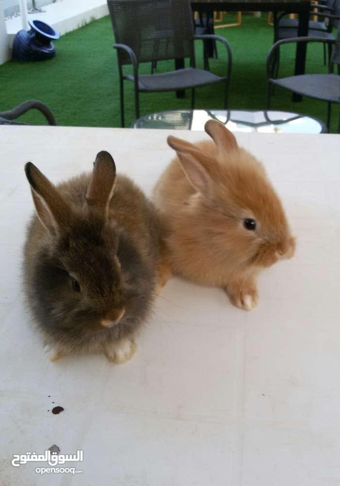 زوج ارانب هولندي...Holland rabbits  2