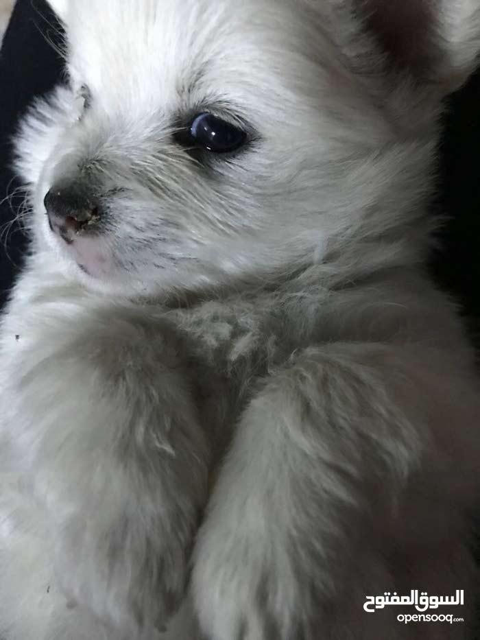 Pomeranian cheuaua mix (pomchi) for sale