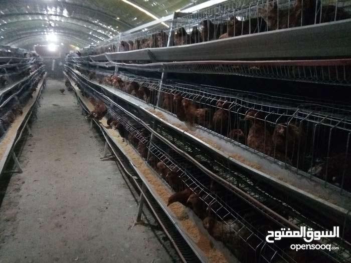 بيع الدجاج البياض
