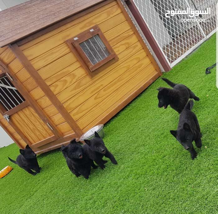 جراوة كلاب سلالةاصيل للبيع