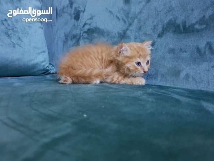 قطط للبيع العمر شهرين