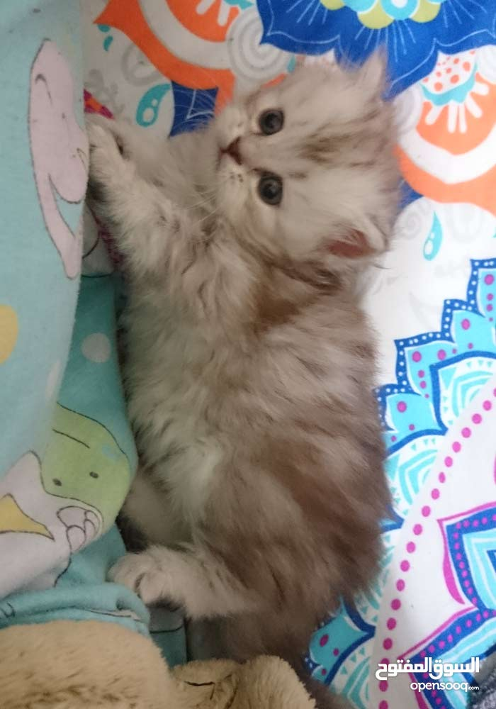 Himalayan mix kittens for sale