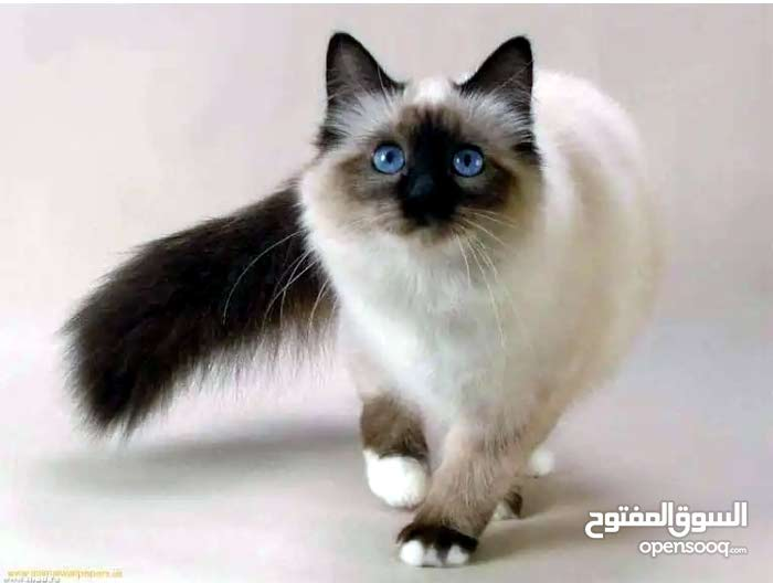 قطة هملايا 6 شهور أنثى