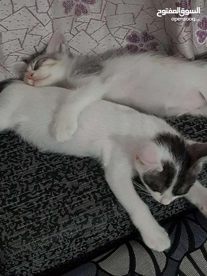 قطتين نوع شيرازي