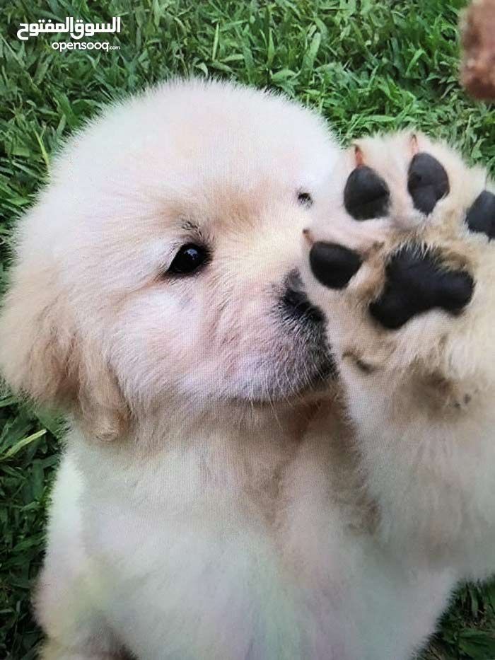golden retriever new born mother & father from USA