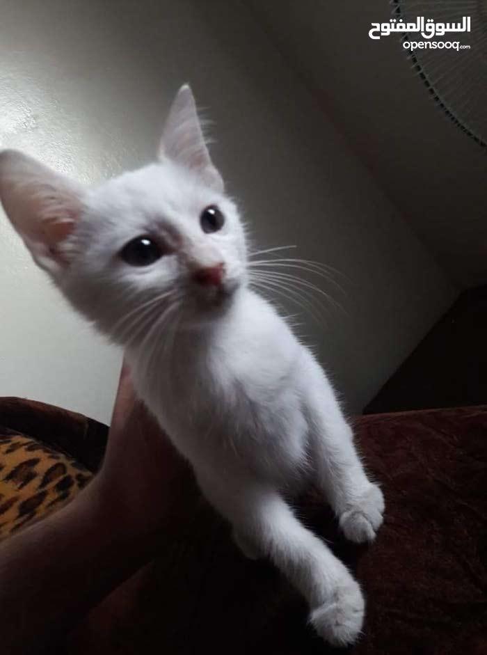 قطه شيرازي بندوق هملايا