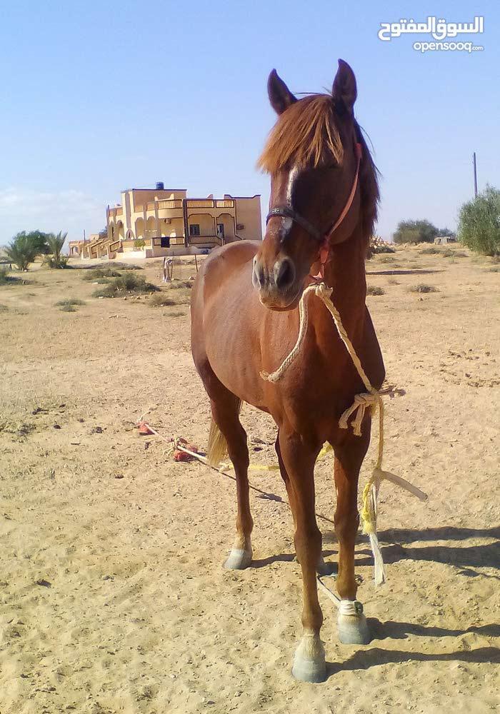 احصان عربی