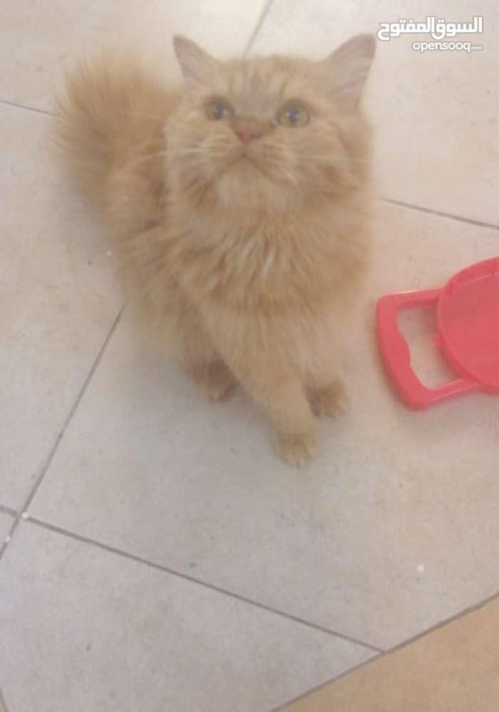 قطط شيرازي امريكي للبيع