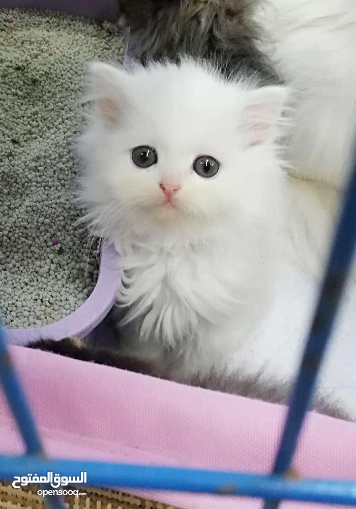قطط شيرازي عمر 50 يوم
