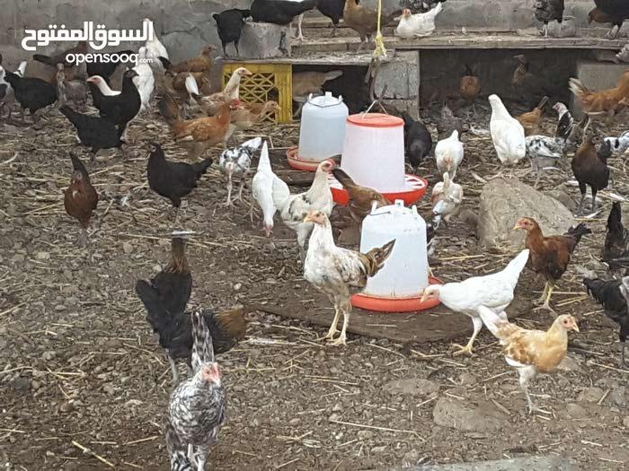 دجاج بلدي محلي للبيع