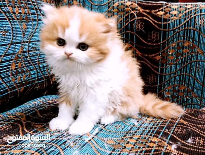 قطط شيرازي ودول فيس للبيع