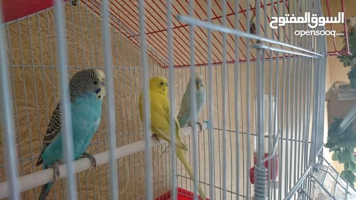 ثلاثة فحول طيور حب بلدي للبيع