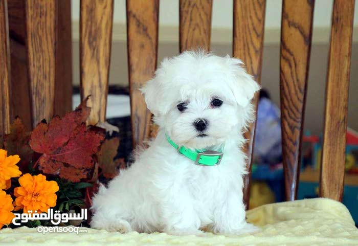Charming Maltese puppies available now for sale
