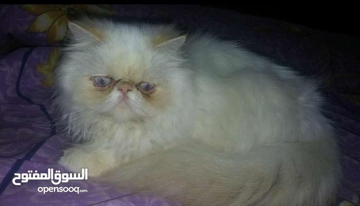 قطه هيمالايا زرار