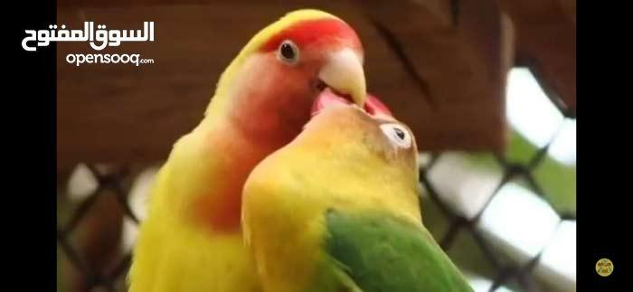 مطلوب طيور روز