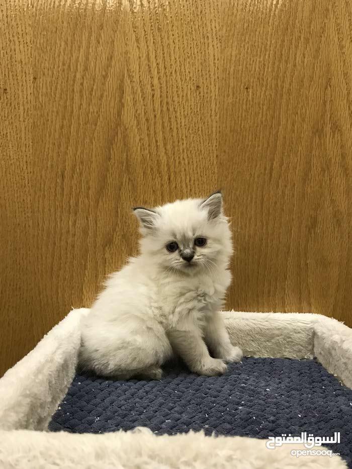 قطط هملايا بيور