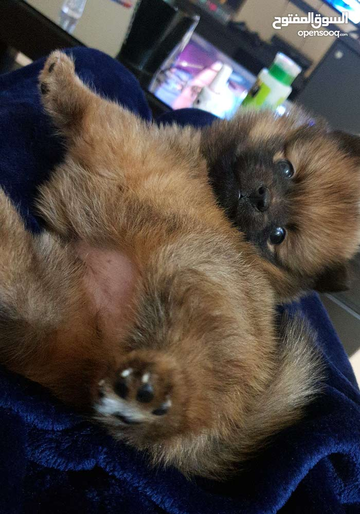 Teacup Pomeranian Puppy (male)