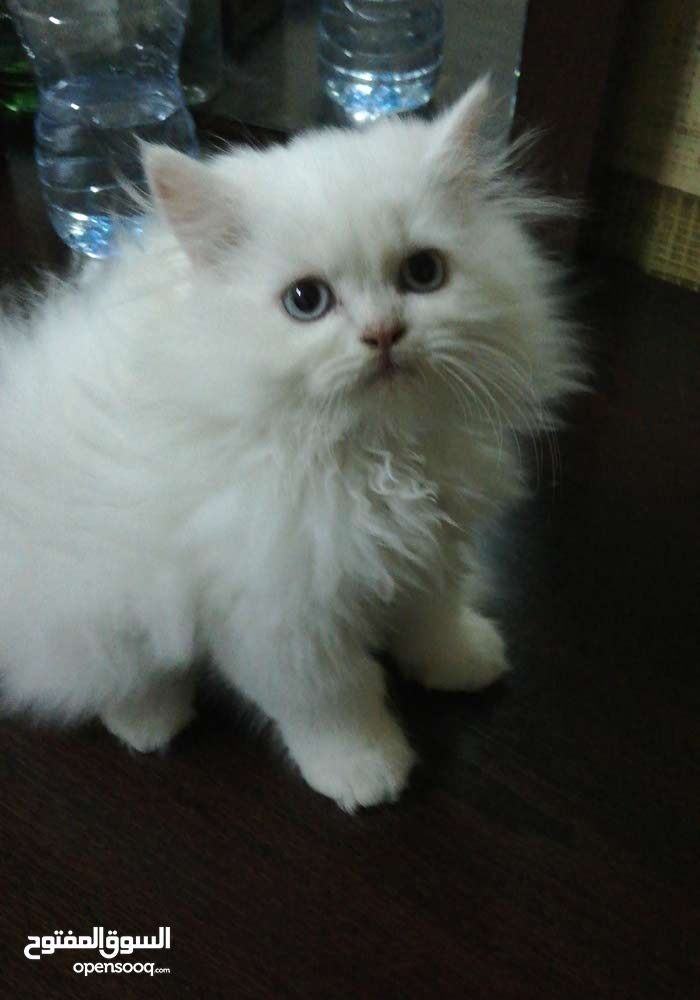 Kitten for sale with free delivery at your door step