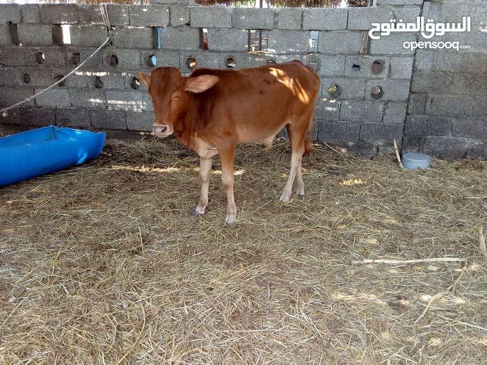 عجل عماني للبيع