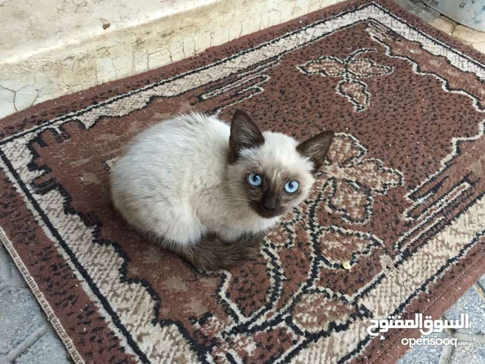 قطه سياميا نظيفه