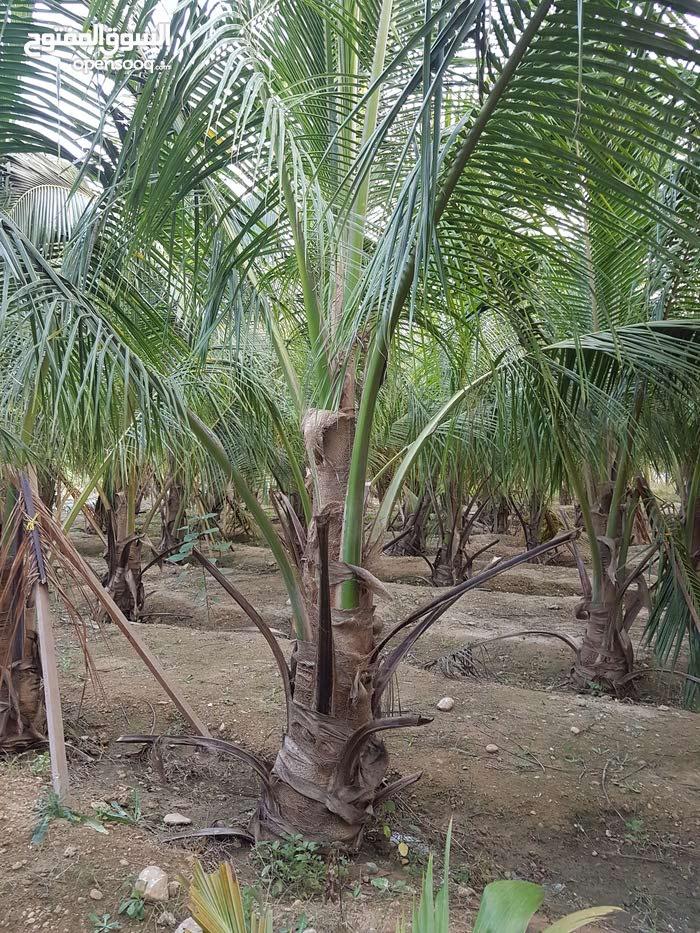 أشجار نخيل للبيع نخل نارجيل
