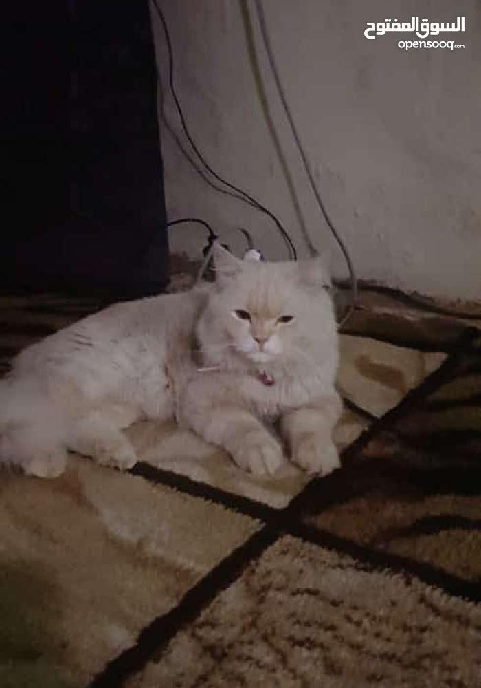 قطه شيرازيه  من النوع الإيراني عمرها سنتين في حالة جدا  ....سمبا