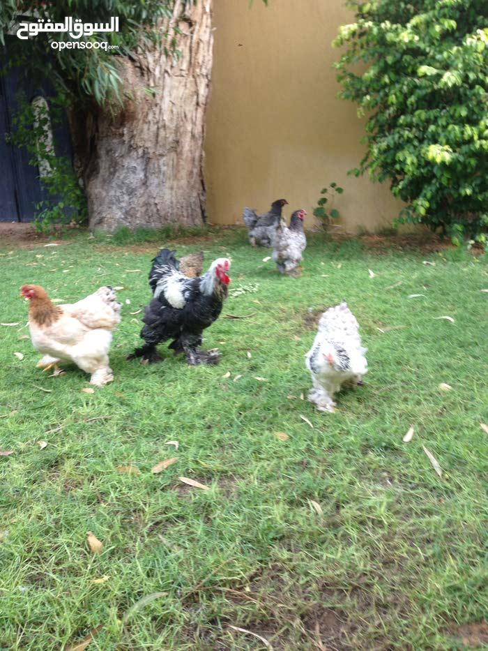 خمسه دجاجات براهما وفروج