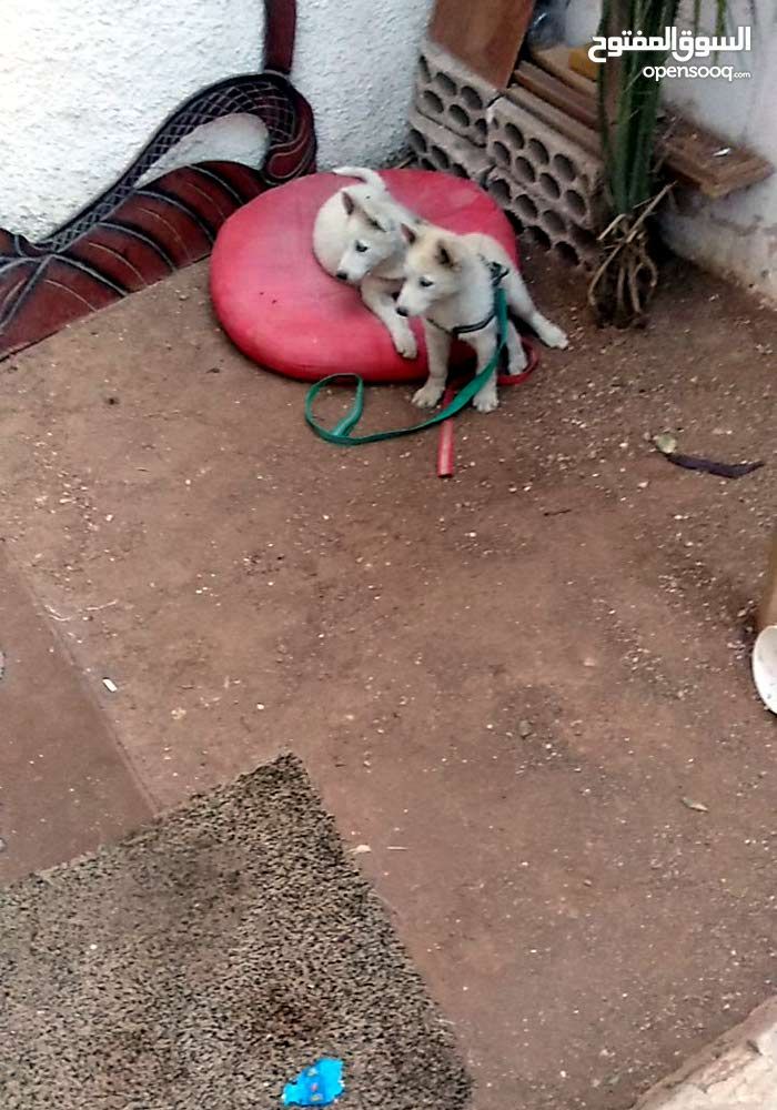 كلب هاسكي عدد2 ذكر وأنثى لون ابيض
