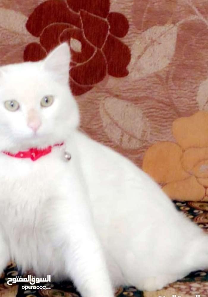 قطة للبيع شرازي