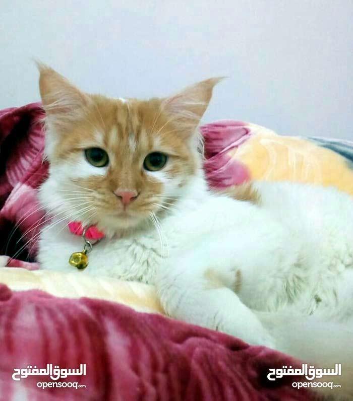 قطة انثى امها شيرازي سكوتش للبيع بسعر مغري