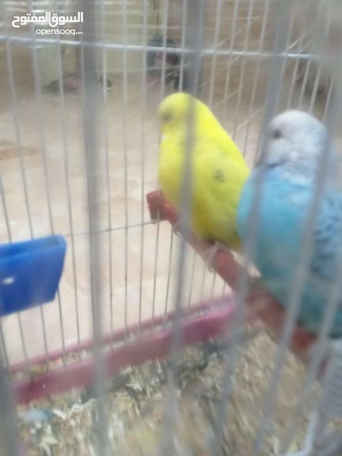 جوز طيور حب ذكر و أنثى مع القفص