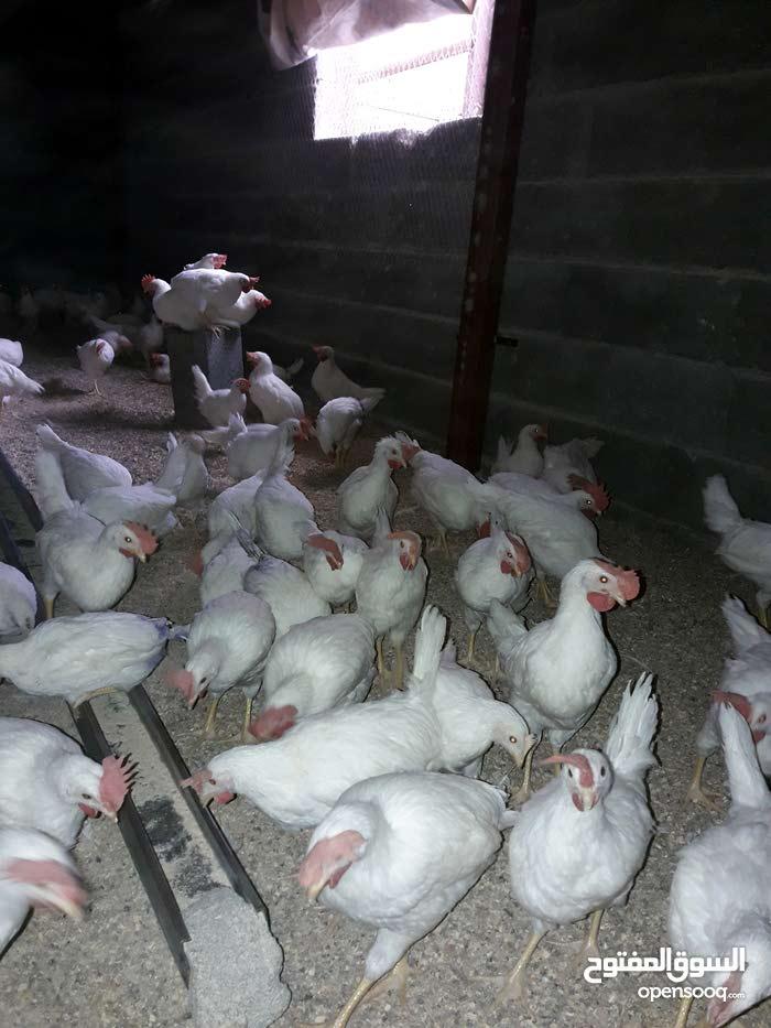 دجاج ابيض.لاحم للبع