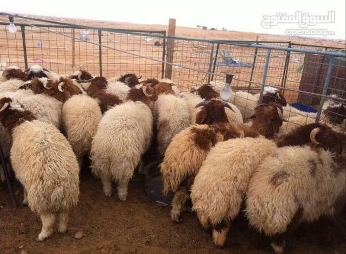 اغنام للبيع مع التوصيل لباب المنزل مجانا 60777317 توصيل جميع مناطق الكويت