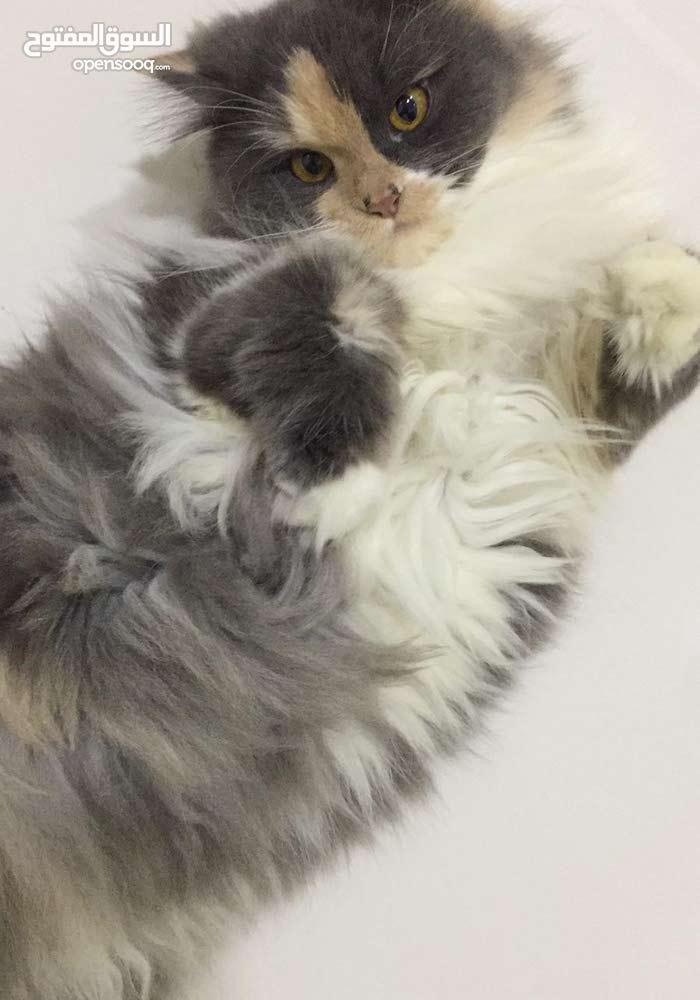 للبيع قطة نثية بسعر فلتة لسرع متصل النوع رد نوز