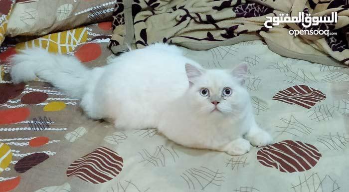 Beautiful & Healthy Himalayan Kitten