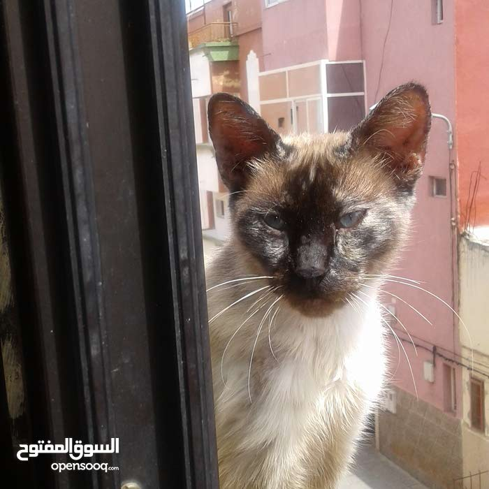 chat siamoi