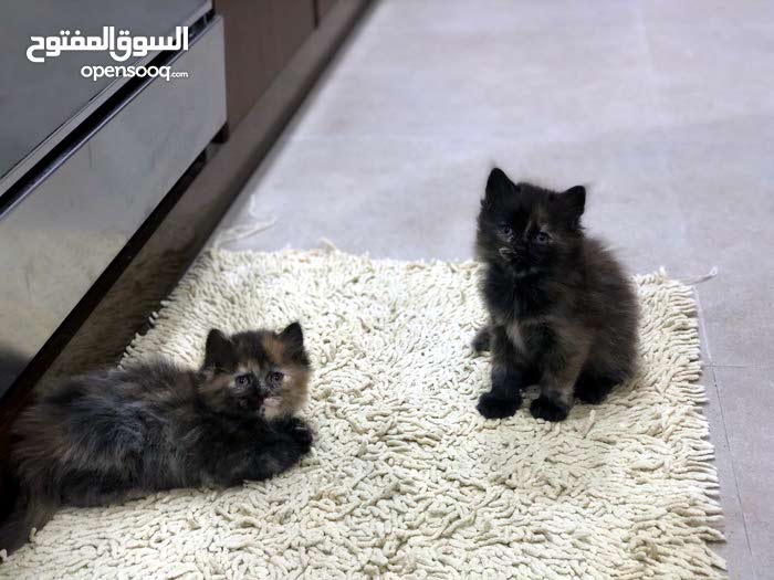 hamalay pure kittens 1 1/2 month old trained