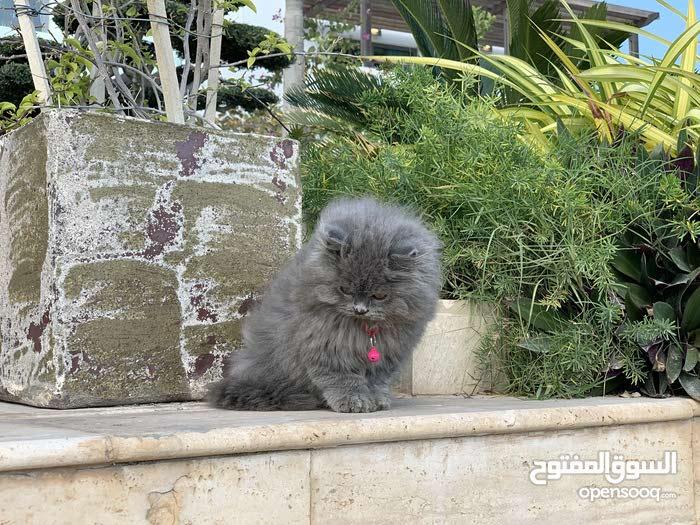 مطلوب قطة عمرها من شهر الى شهرين