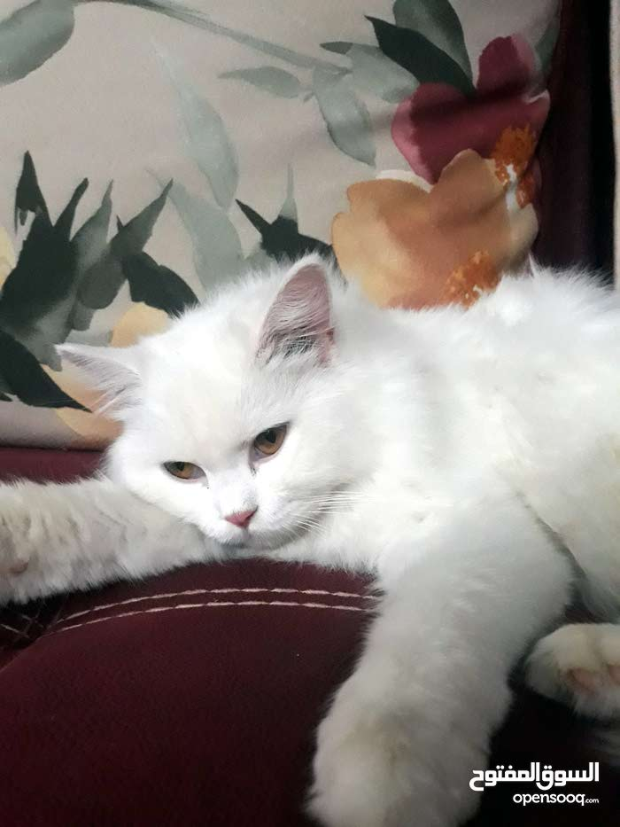 قطه شيرازي نوع بكي فيس العمر 7 اشهر مع الملحقات +تراب الخاص بيها +اكل الخاص بيها