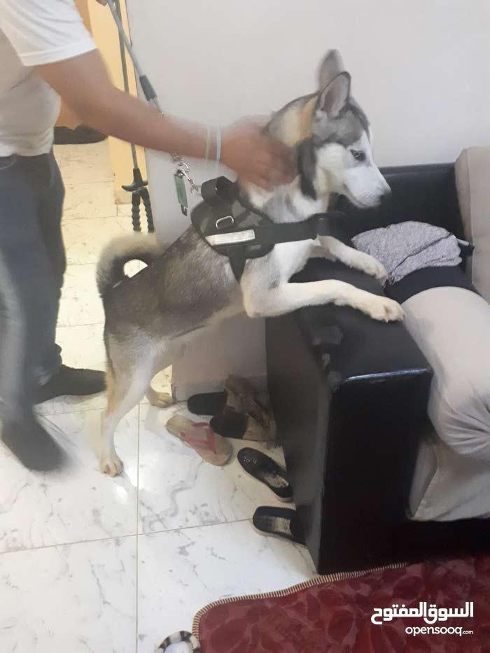 husky sibérienne fumelle 10mois