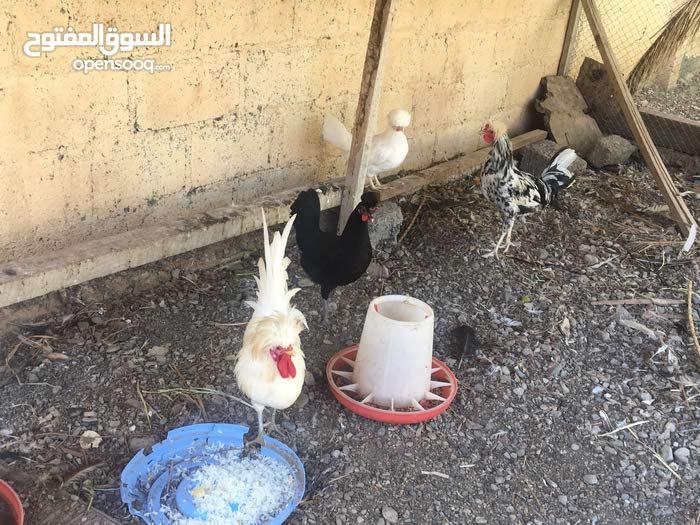 دجاج لبولش زوجين