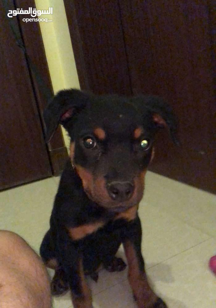 كلب روتوايلر بيور Rottweiler pure puppy