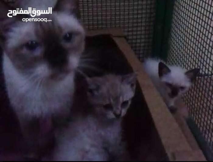 سيامية مع اولادها كلهم 1000 درهم