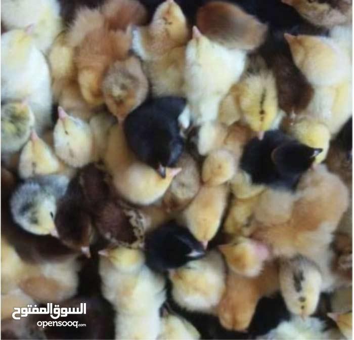 مطلوب فلاليس دجاج عربي