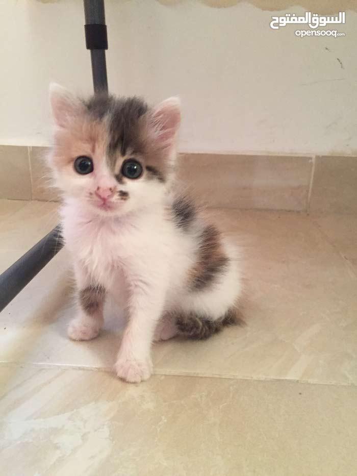 قطة صغيرة انثى للبيع