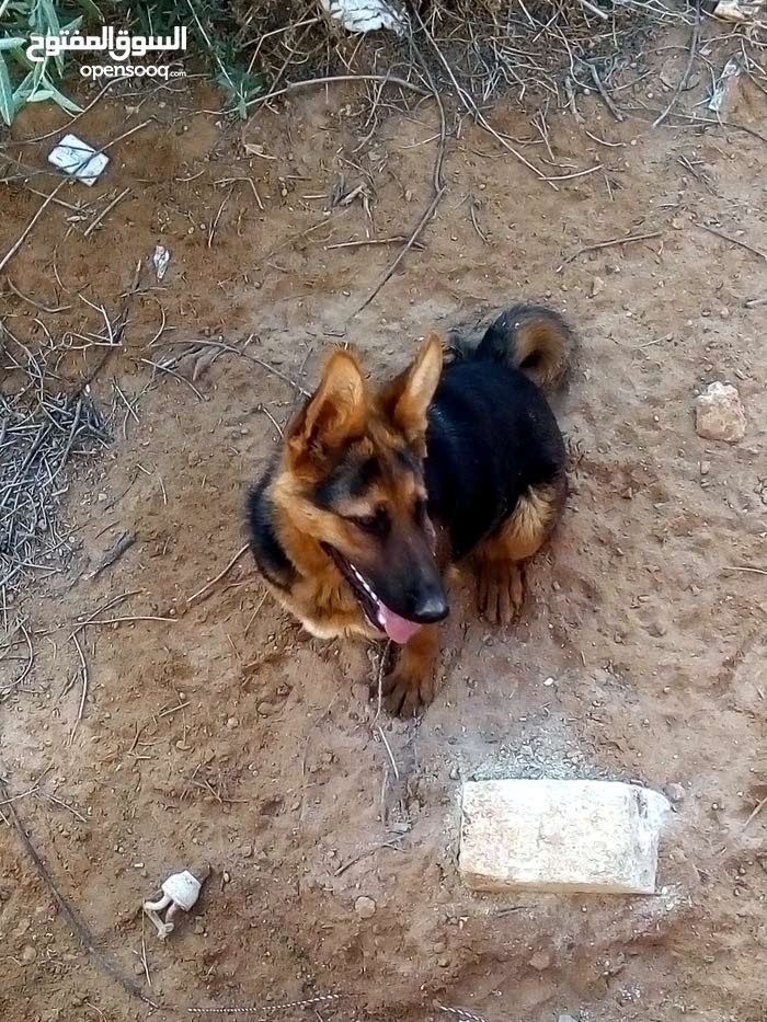 كلبه المانيه كستم الاصلي عمرها 8شهور بنيتها تبارك الرحمن  للبيع750كاش قابل لنقاش