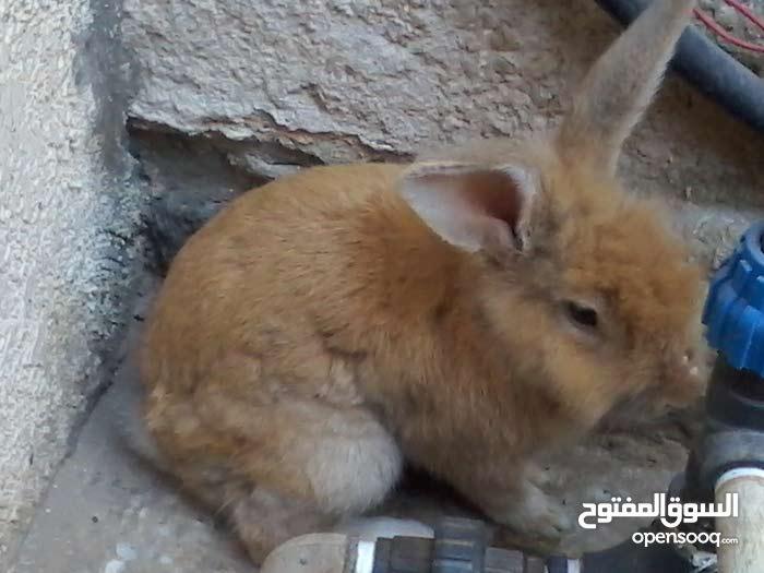 قديش سعر  هذا لارنب نوعه عربي مجنس علي  اسدي