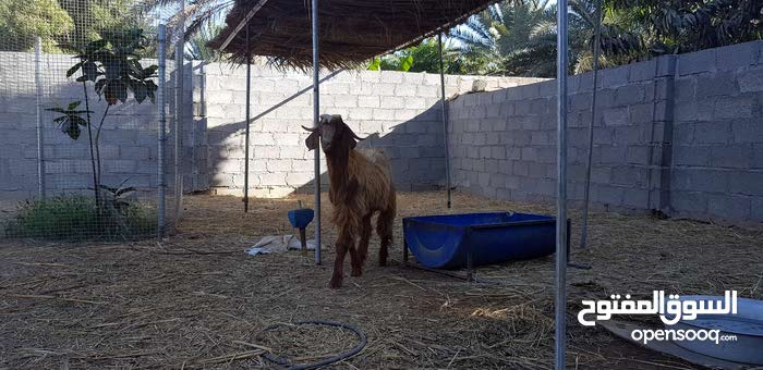 تيس عماني سمين فيه مد وشور