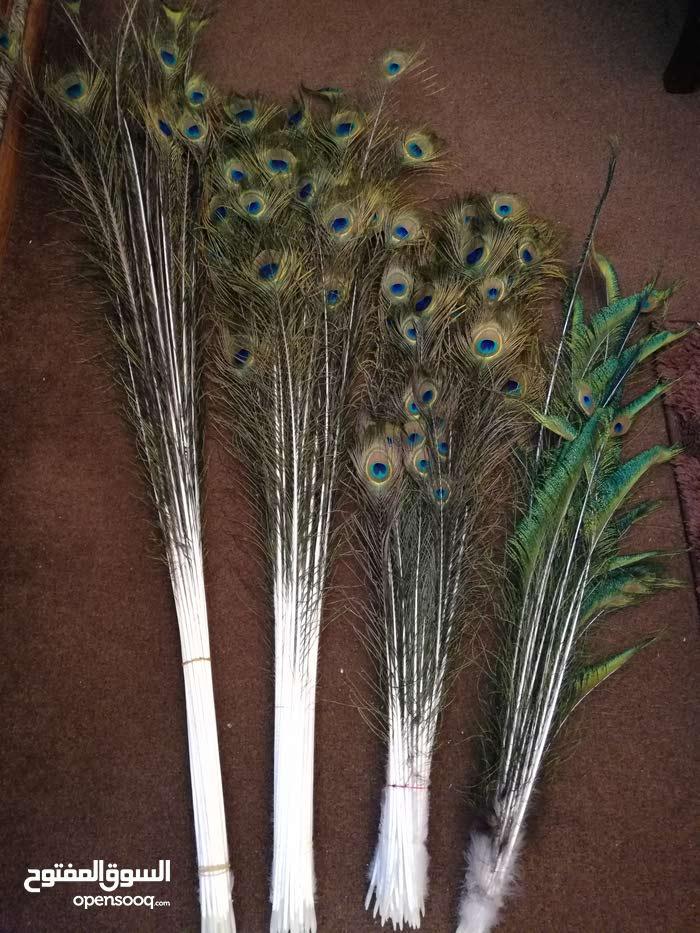 ريش طاووس جديد للبيع